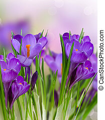 весна, цветы, крокус
