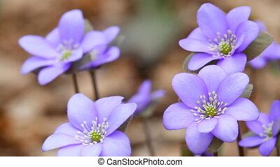 весна, цветы, первый
