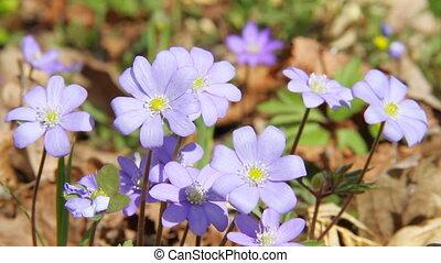 весна, цветы, перемещение, первый