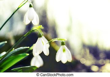 весна, цветы, подснежник