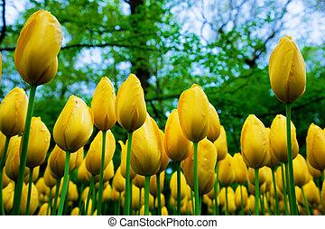 весна, цветы, свежий, желтый, тюльпан