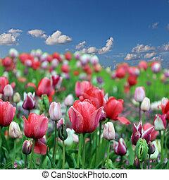 весна, цветы, тюльпан