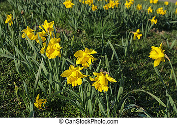 весна, цветы, daffodils, желтый