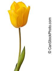 весна, яркий, желтый, тюльпан