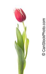 весна, яркий, цветок, тюльпан
