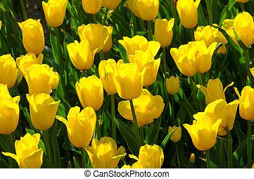 весна, яркий, blossoms, красочный, тюльпан