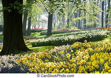 весна, beechtrees, daffodils