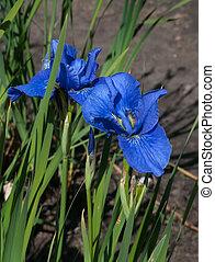 весна, blossoming, irises