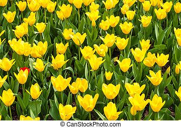весна, blossoms, тюльпан