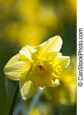 весна, daffodils, желтый, blooming
