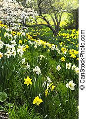 весна, daffodils, парк, blooming