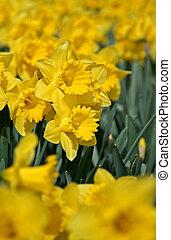 весна, daffodils