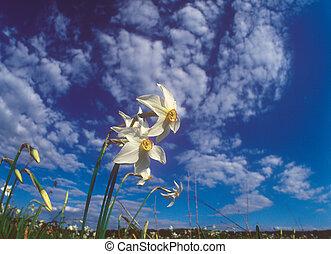 весна, daffodils.