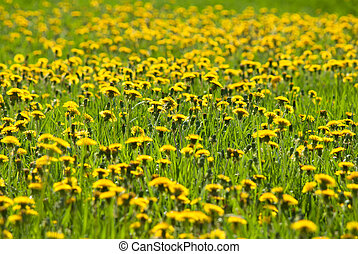 весна, dandelions, желтый