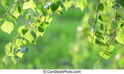весна, leaves, молодой, backlight, береза