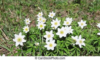 весна, -, snowdrops., белый, цветы, первый