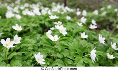 весна, -, snowdrops, белый, цветы, первый