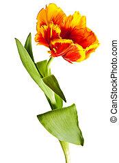 весна, tulips