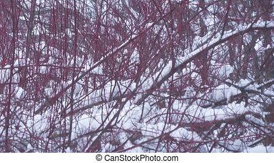 ветви, зима, мшистый, снегопад, forest., background.