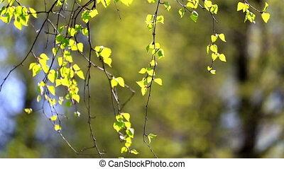 ветви, солнце, leaves, освещенный, яркий, зеленый, береза