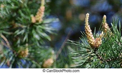ветви, cones, сосна, молодой
