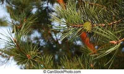ветви, cones, сосна, подробно
