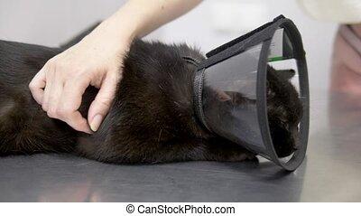 ветеринарный, кот, клиника, черный, конус, таблица, грустный