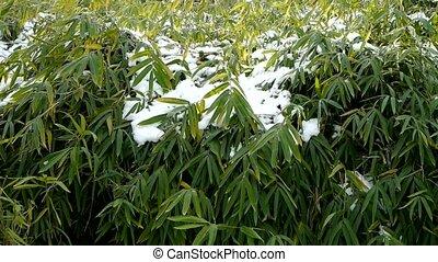 ветер, covered, swaying, снег, бамбук