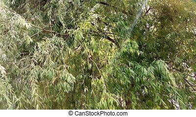 ветер, leaves., ветви, через, swinging, солнце, rays, дерево, shining, ива