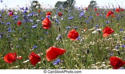 ветер, poppies