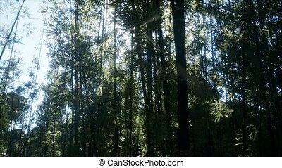 ветреный, бамбук, arashiyama, спокойный, лесок