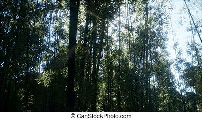 ветреный, спокойный, бамбук, arashiyama, лесок