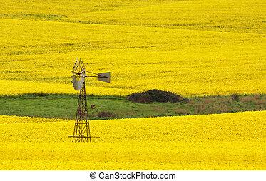 ветряная мельница, в, , поле, of, канолы