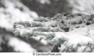 вечнозеленый, дерево, метель