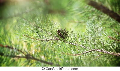 вечнозеленый, дерево, филиал, сосна