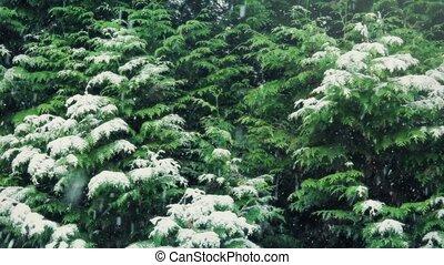 вечнозеленый, снег, trees