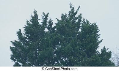 вечнозеленый, winds, trees, буря