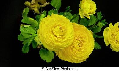 видео, желтый, задний план, blooming, цветы, loopable, ...