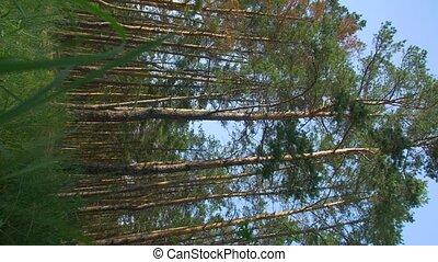видео, лес, вертикальный