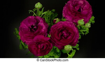 видео, пурпурный, задний план, blooming, цветы, loopable, ...