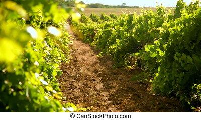 виноградник, в, лето