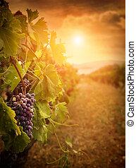 виноградник, в, осень, уборка урожая