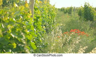 виноградник, collec, плантация, молодой