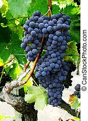 виноград, кластер