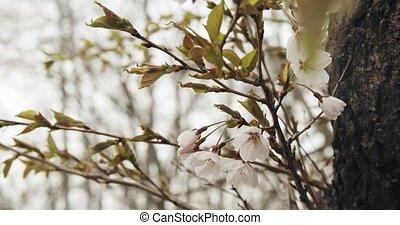 вишня, полный, blossoms, bloom.