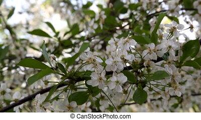вишня, цветок