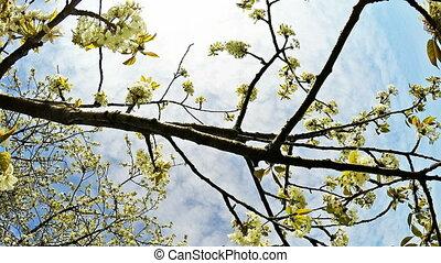 вишня, blossoming, ветви