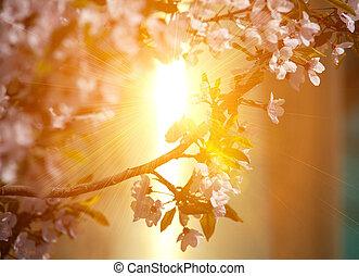 вишня, blossoming