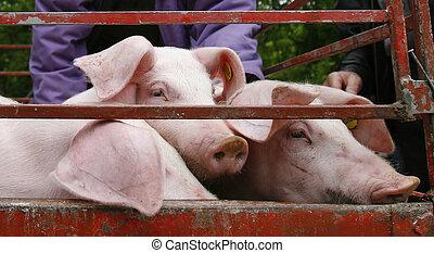 внутренний, свинина, сельское хозяйство, животное, свинья