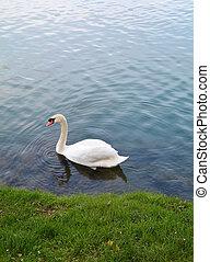 воды, пульсация, лебедь